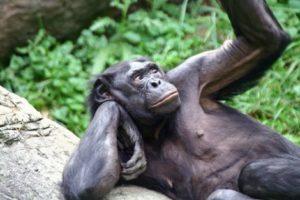 recenti_studi_bonobo_sex